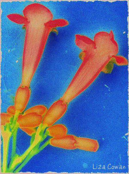 Trumpet vine, flowers, photograph,  liza cowan