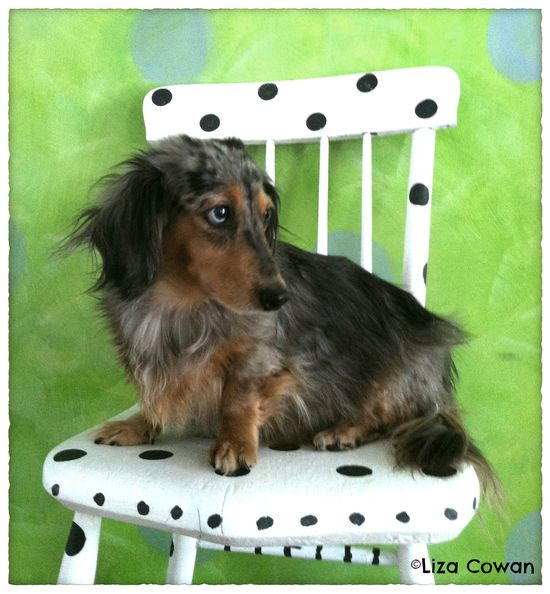 Stella doxy daschound on chair painted with Annie Sloan paint liza cowan photo