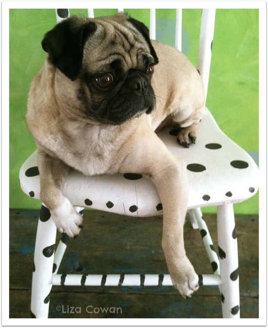 Saki pug on spotted chair, annie sloan chalk paint, photo liza cowan