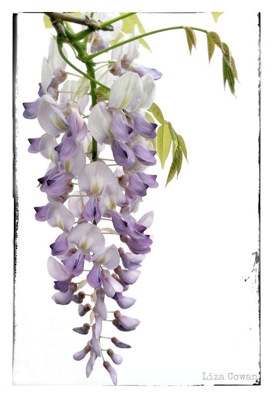 Hanging wisteria photograph ©Liza Cowan