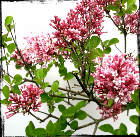 Pink lilacs. Photo ©Liza Cowan 2013