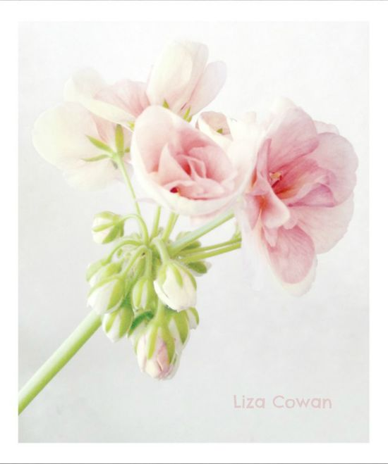 Geranium petals pale on white photo ©liza Cowan
