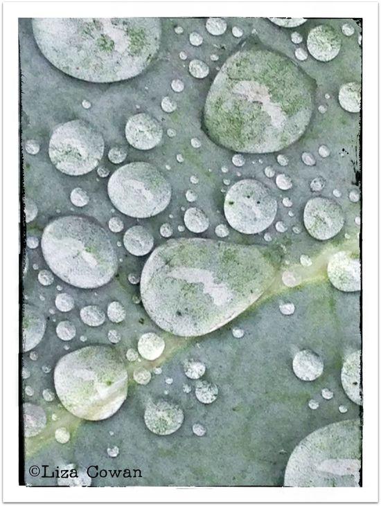 Dew on broccoli leaf photo ©liza Cowan